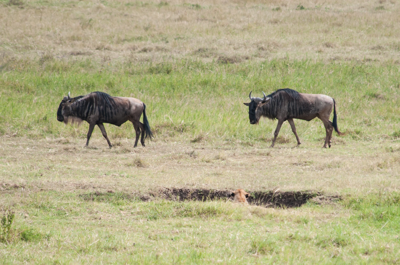 Wildebeest passing a hunting lioness