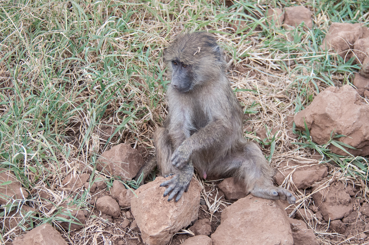 Baby babboon