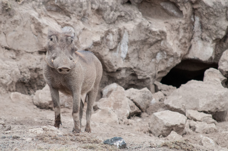 Warthog coming out of its den