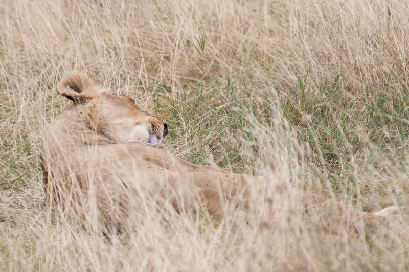 Lioness bathing