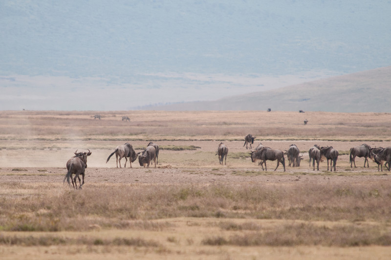 Wildebeests sparring
