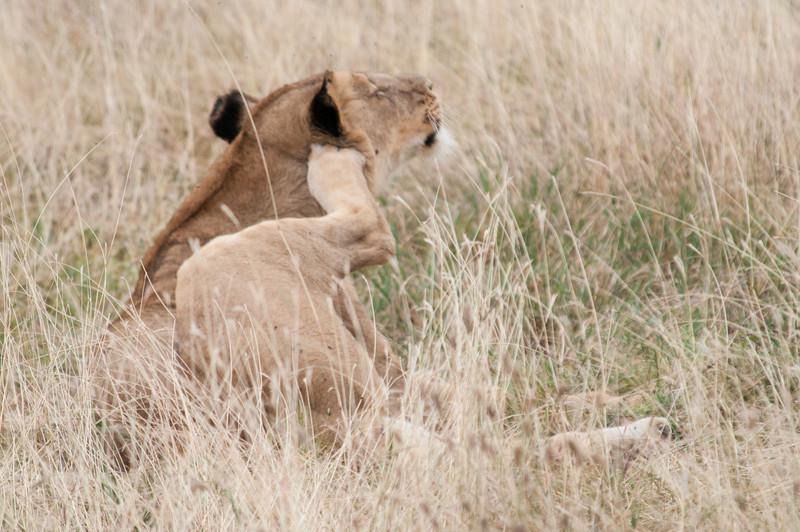 Lioness scratching