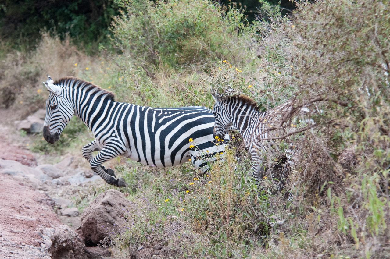 Zebras jumping a ditch by the road