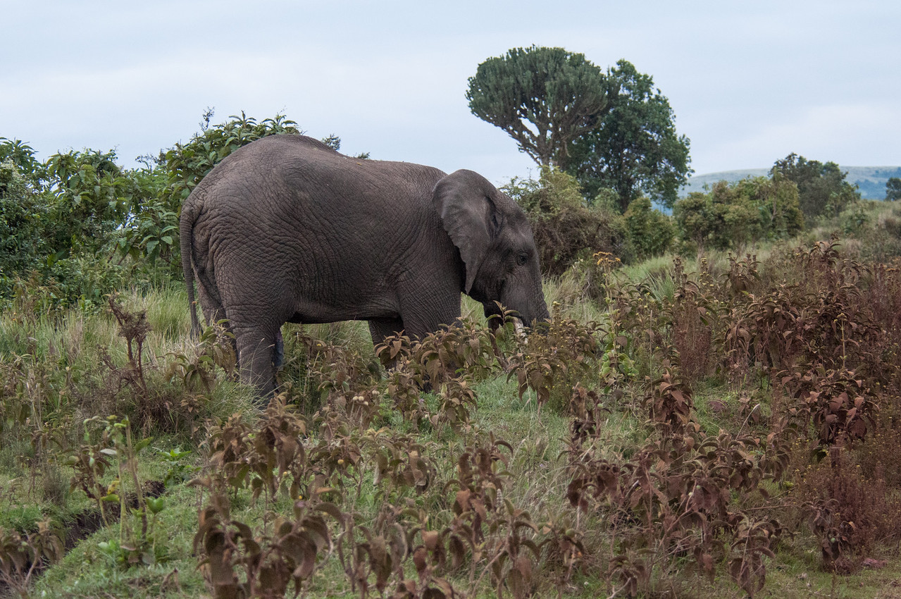 Bull elephant near the lodge