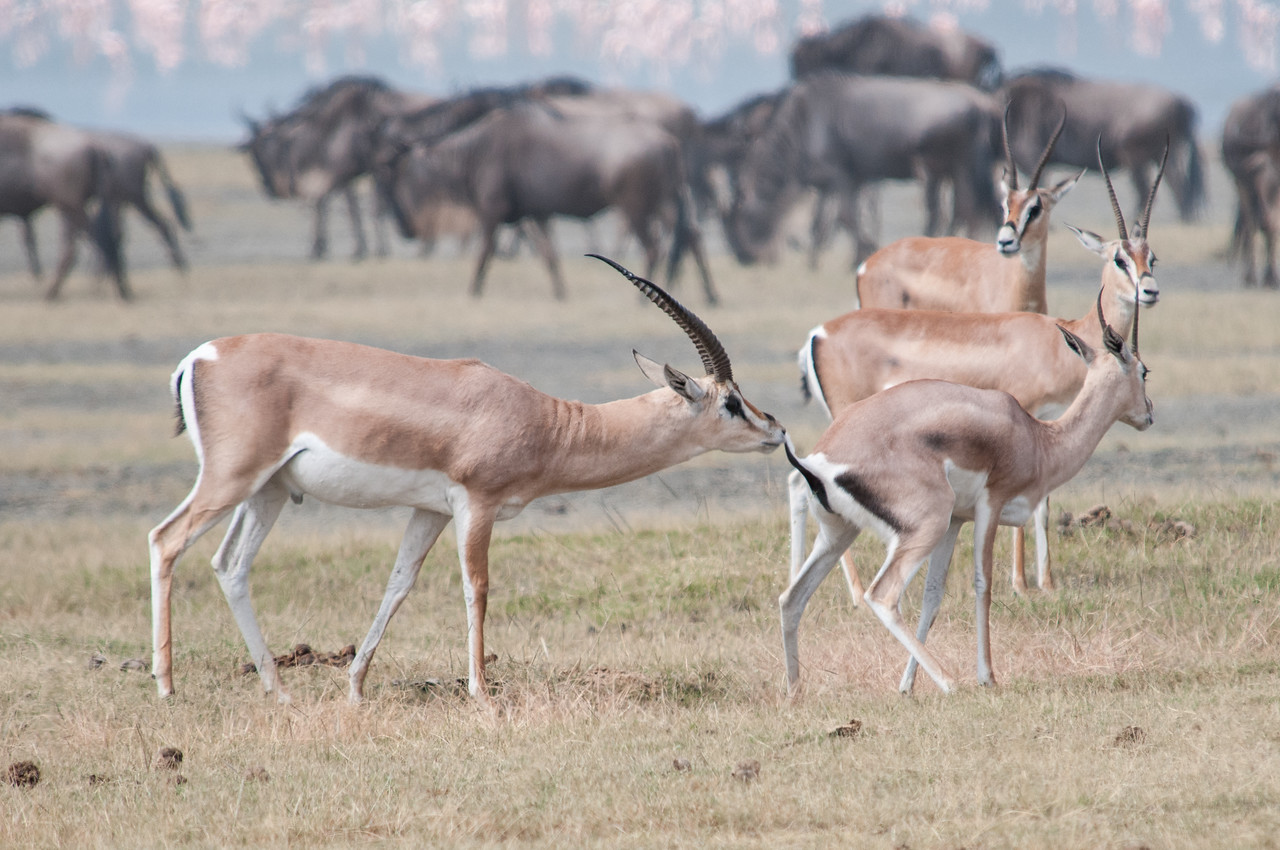 Male gazelle checking out a female