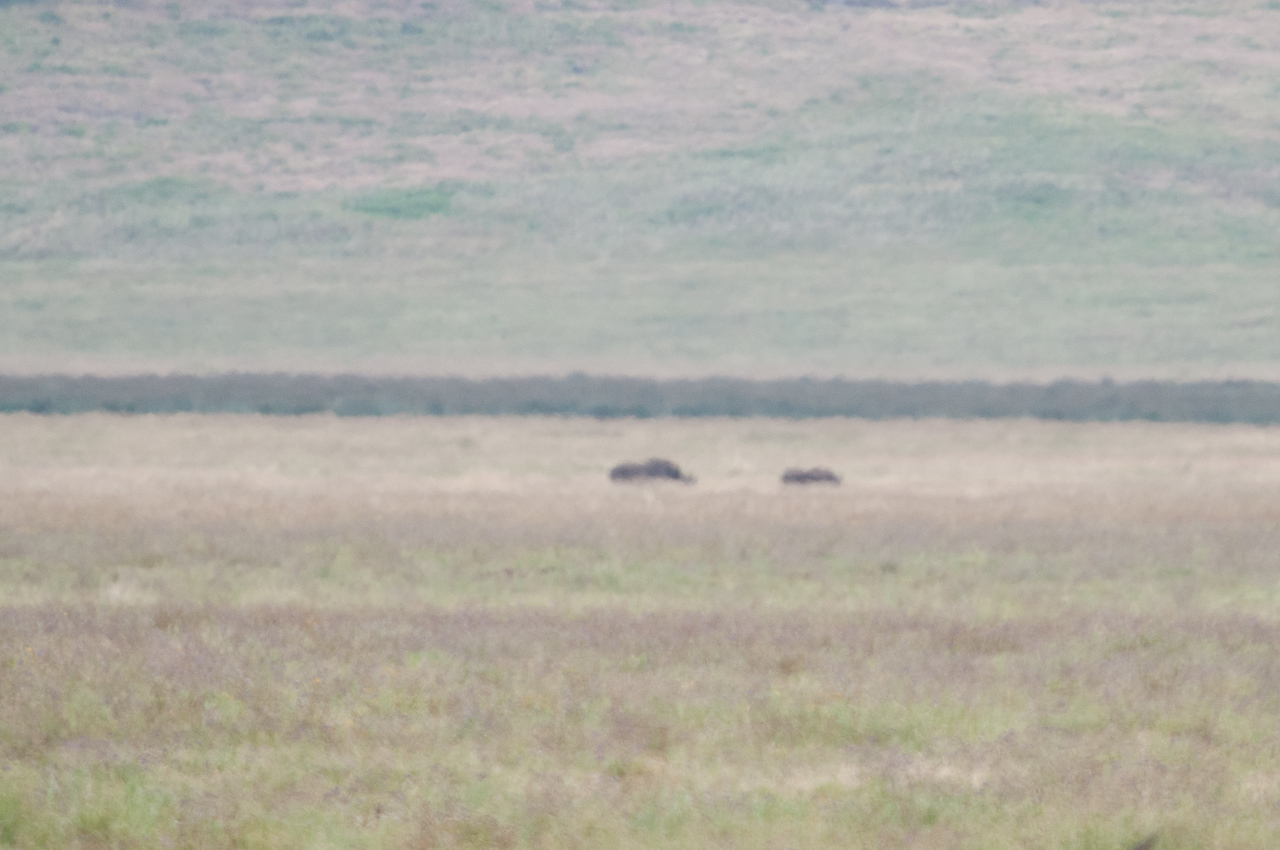 Black rhinos in the distance