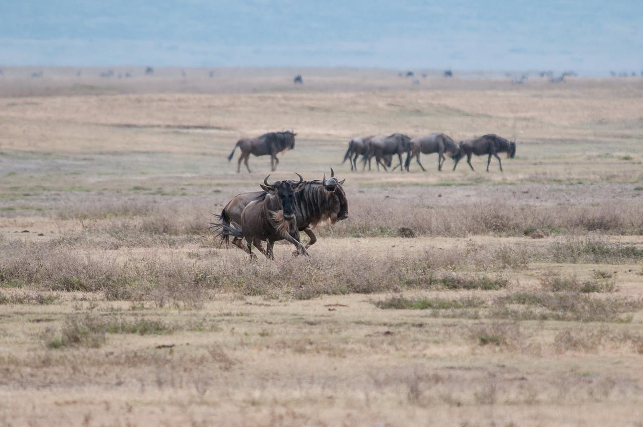 Wildebeasts running