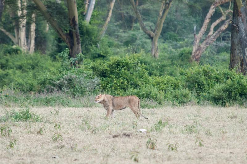 Lion shaking