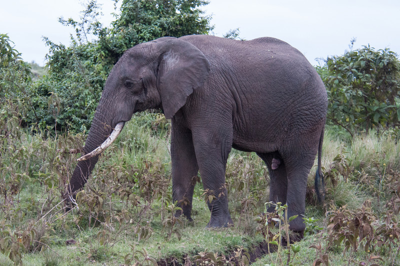 Bull elephant near the lodge