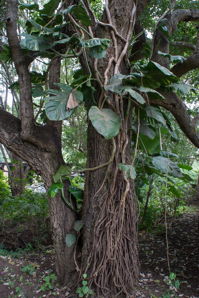 A cool ivy.