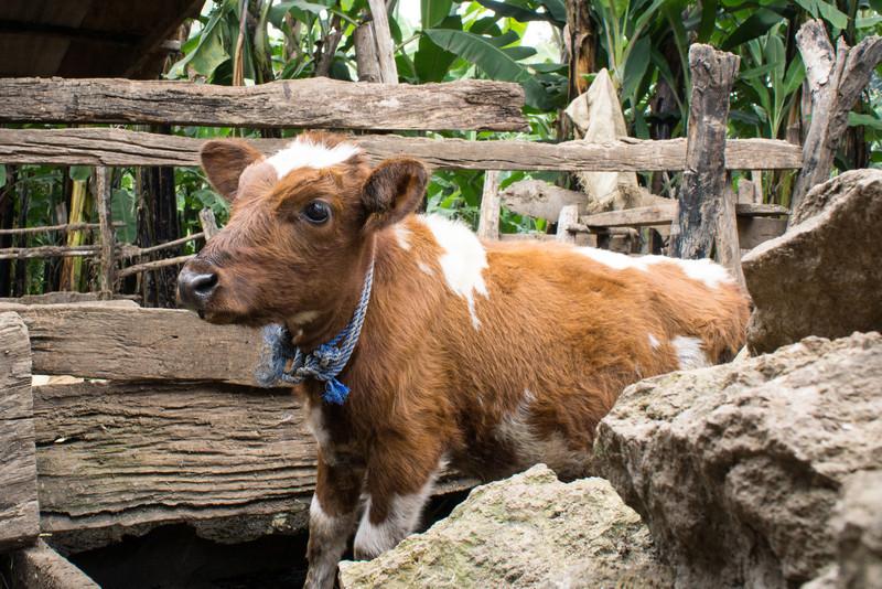 A calve on the farm.