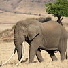 African Elephant (over 50).