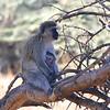 Mama and Baby Vervet Monkeys