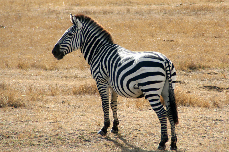 Zebra on the Crater floor