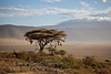 Weaver nests on an Acacia tree in the Ngorongoro Crater
