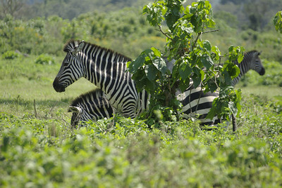 Zebras in Arusha National Park, on the drive in to Mt. Meru