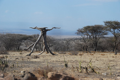 Tree in Ngorongoro Crater.