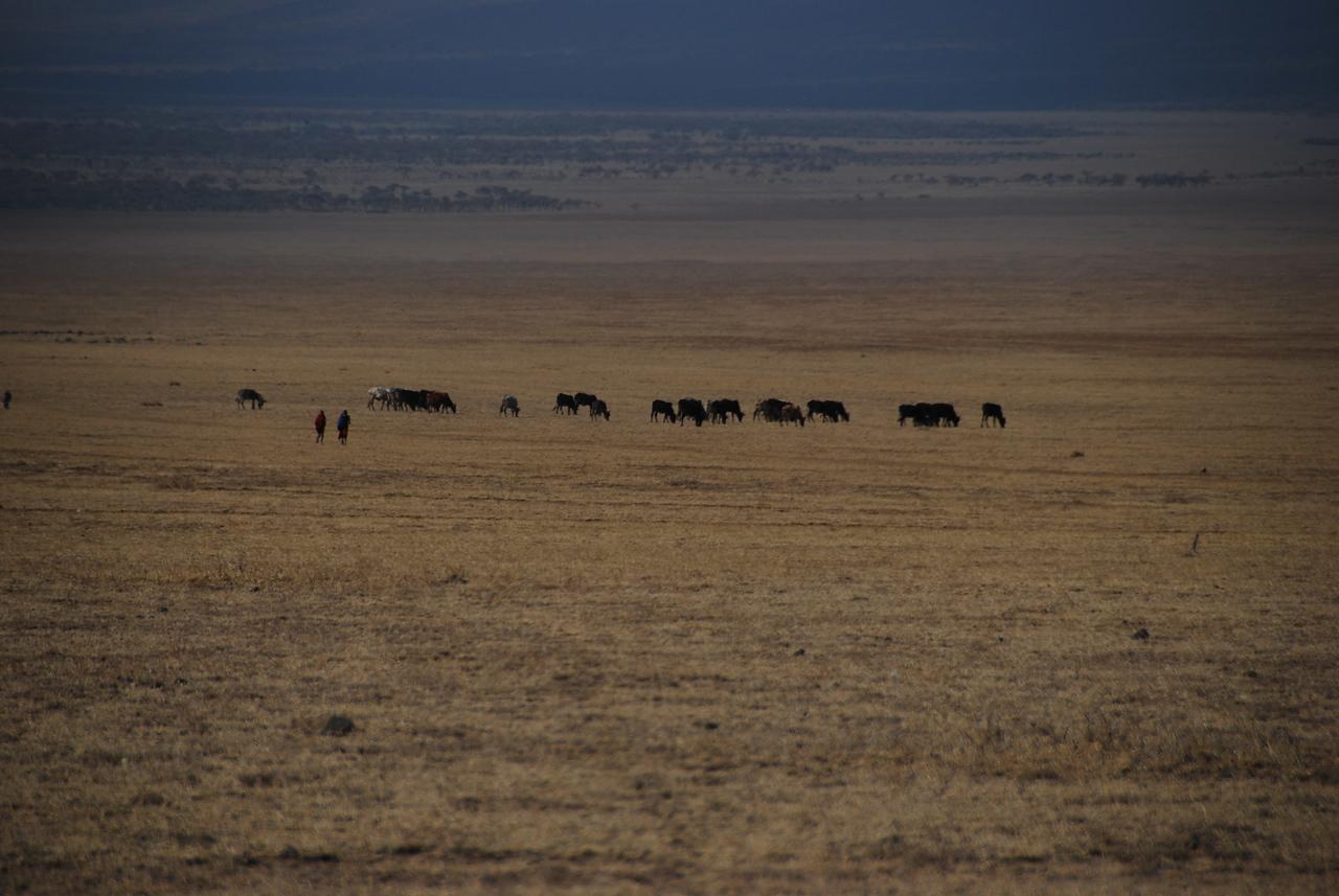 Maasai and herd