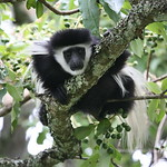 Black & White Colobus babies