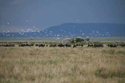 Cattle Egret & Wildebeest