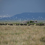 Cattle Egret & Wildebeest