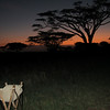 Sunset through the acacia trees