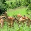 Impala harem (only one male)