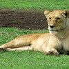 Lazy lady lion