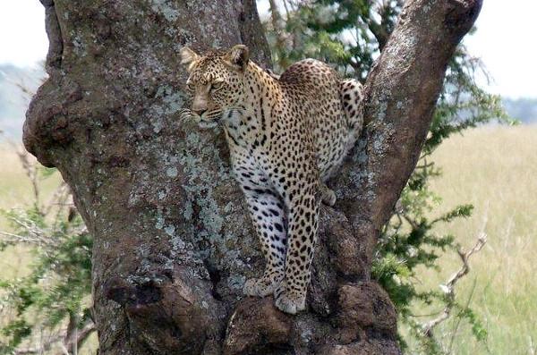 Leopard. Tanzania. 2011.