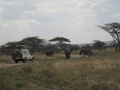 Serengeti: Following the elephants, there must have been 50 or 60 in the same area.