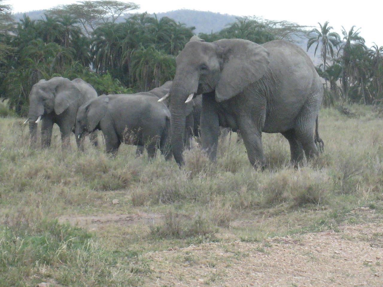 Elephant matriach keeping a close eye on us.