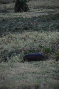 Hippo with a gazelle in the background.