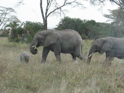 Elephant family in the Serengeti.