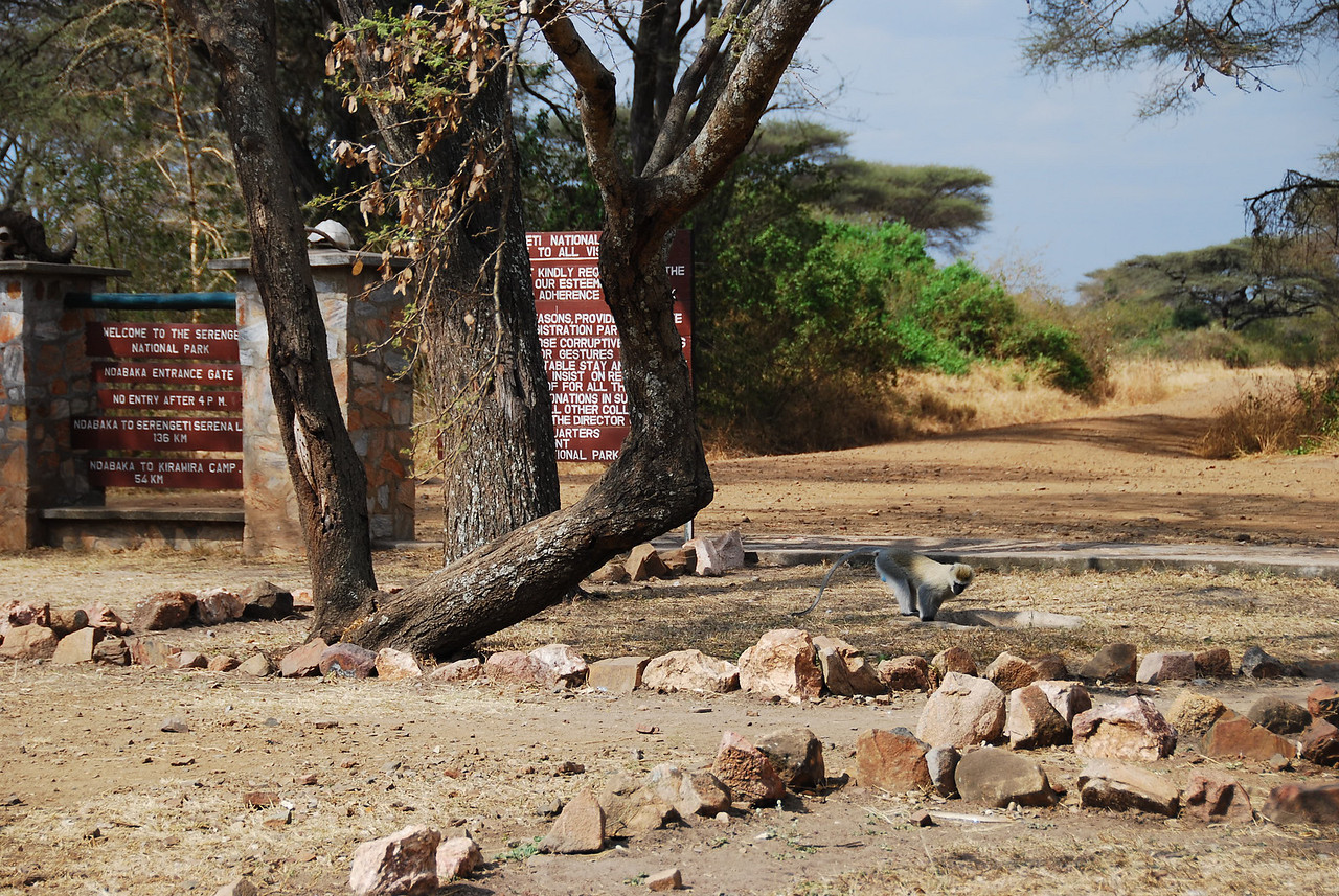Monkey at the entrance to Serengeti National Park.