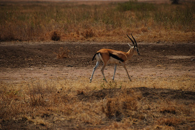 Thompson's Gazelle, their tails wag constantly.