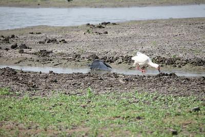 Black Heron & African Spoonbill