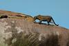 Leopard - Northern Serengeti