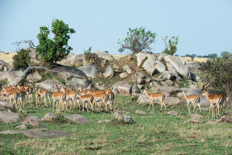 Impala With His Harem - Northern Serengeti