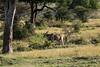 Eland - Loliondo Wildlife Preserve