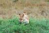 Lion in Grass - Northern Serengeti