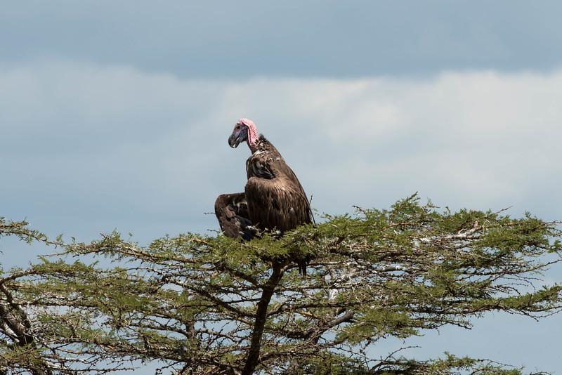 Vulture - Northern Serengeti