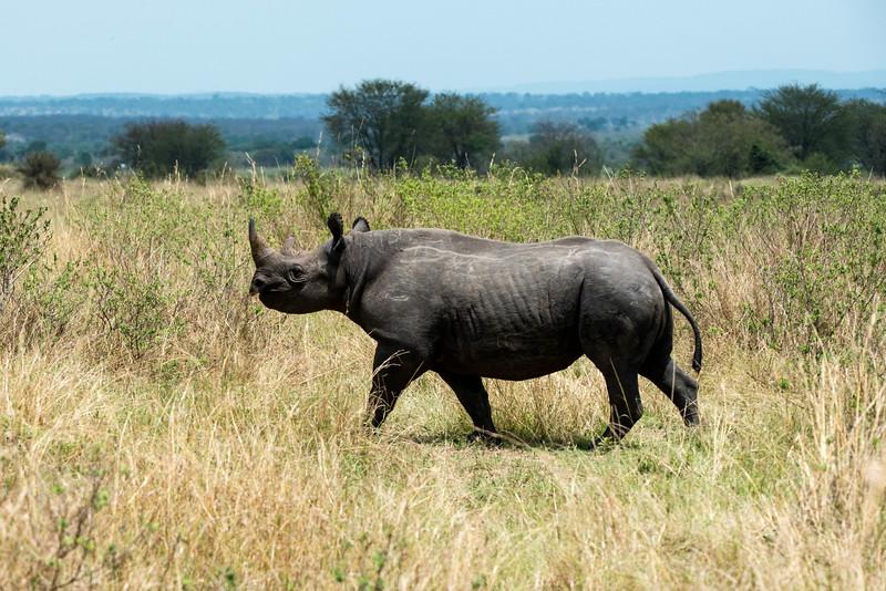 Rhinoceras - Northern Serengeti