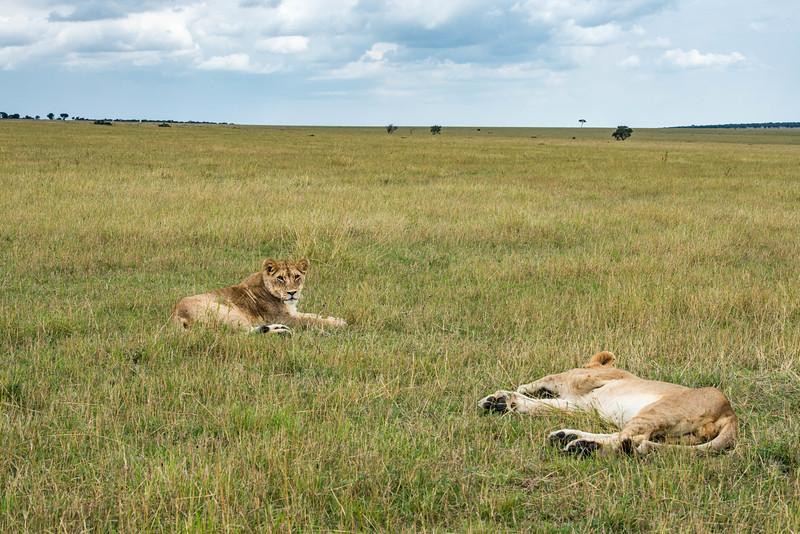 Sibling Lions - Northern Serengeti
