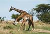 Battling Giraffes - Northern Serengeti