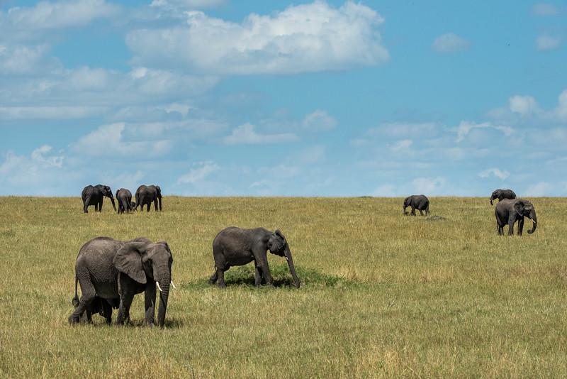Elephants - Northern Serengeti
