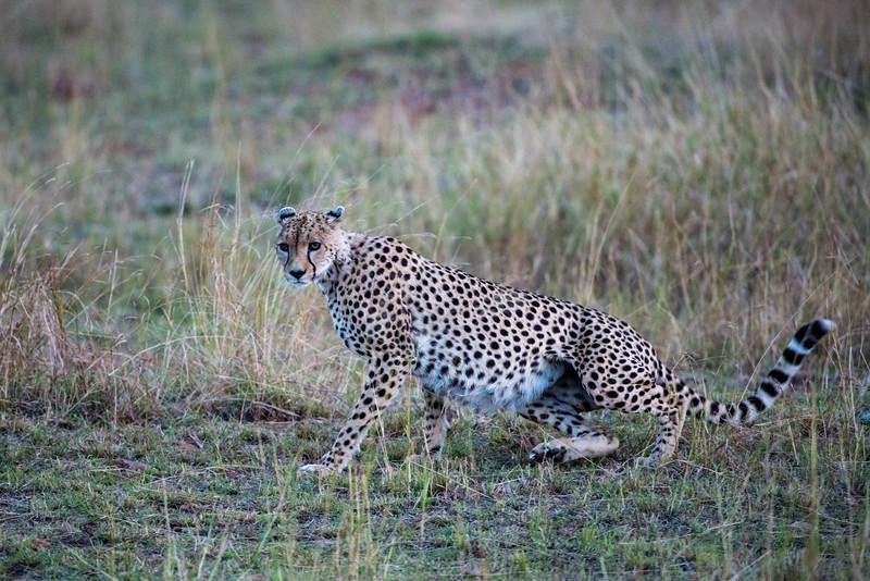 Cheetah - Loliondo Wildlife Preserve