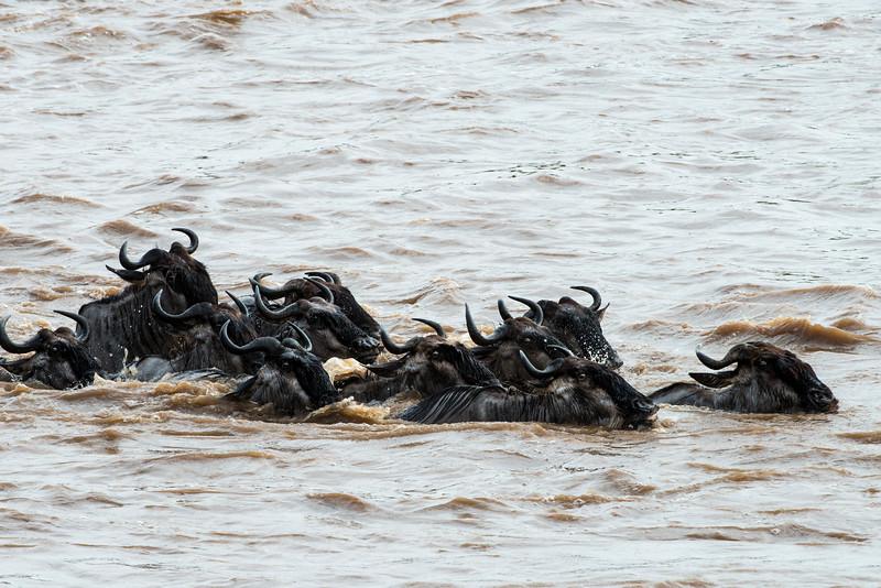 Wildebeest Crossing the Mara River, Northern Serengeti