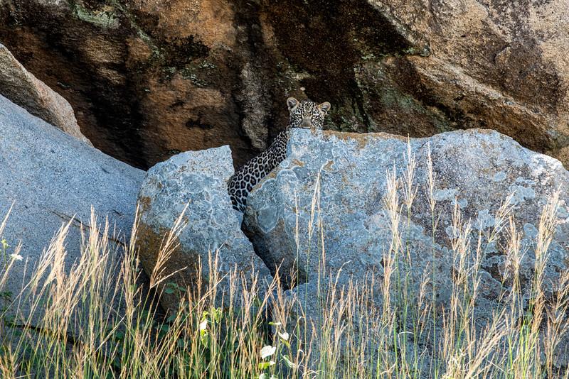 Shy Leopard - Northern Serengeti