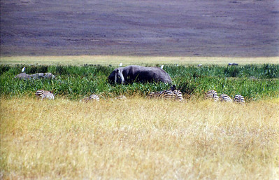 Elephant and Zebra in swampy area in Crater near rim wall.