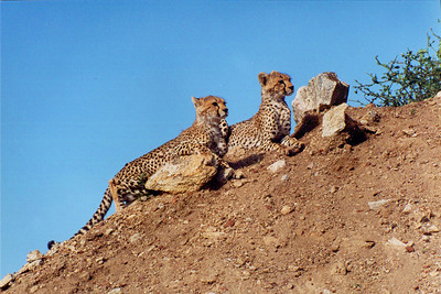 "Young Cheeta cubs on ""Kopje"". Serengeti National Park, Tanzania, Africa."